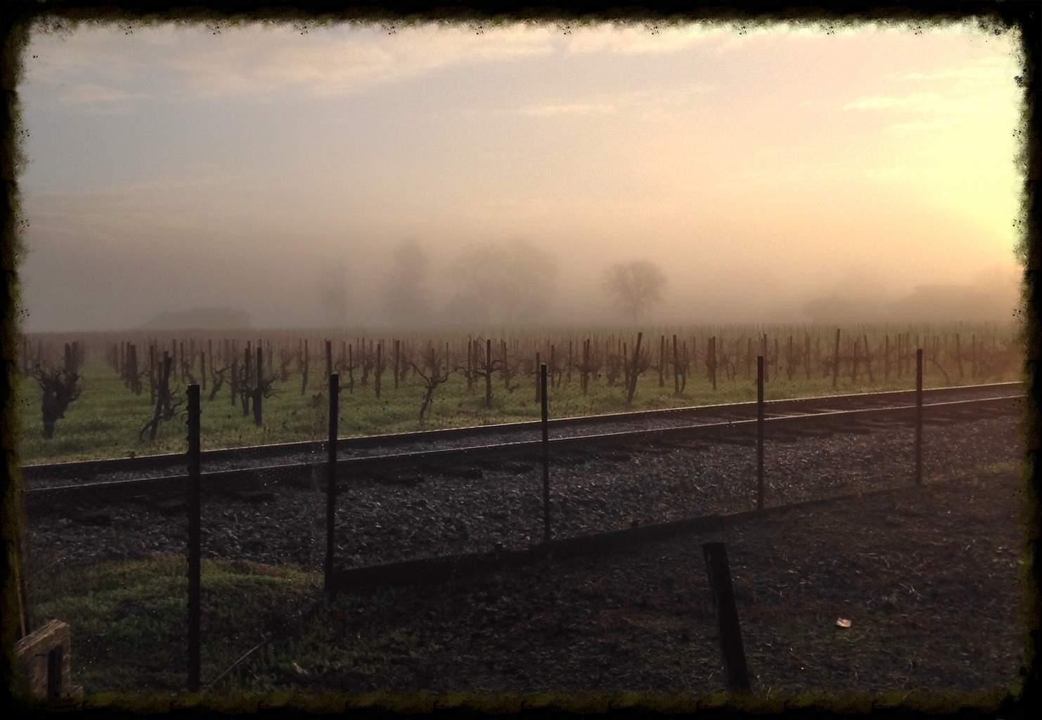 Vineyard in the Mist